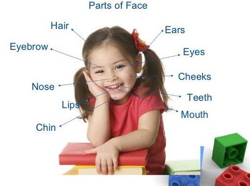 Части лица и головы на английском